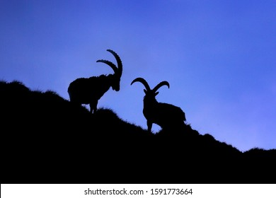 Ibex fight on the rock. Alpine Ibex, Capra ibex, animals in nature habitat, France. Night in the high mountain. Beautiful mountain night scenery with two animals with big horns. Wildlife Europe.