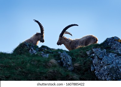 Ibex fight on the rock. Alpine Ibex, Capra ibex, animals in nature habitat, Italy. Night in the high mountain. Beautiful mountain scenery with two animals with big horns. Wildlife Europe.
