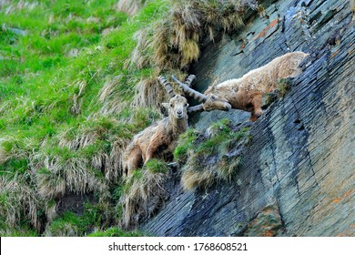 Ibex fight on the rock. Alpine Ibex, Capra ibex, animals in nature habitat, Italy. Night in the high mountain. Beautiful mountain scenery with two animals with big horns. Alps, wildlife Europe.