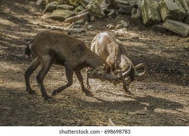 Ibex fighting  - wild goats fighting for supremacy
