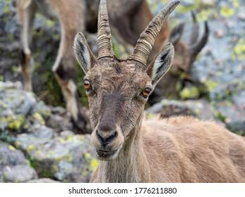 Ibex in the italian alps of Val Gerola