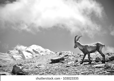 Ibex looking at Mont Blanc
