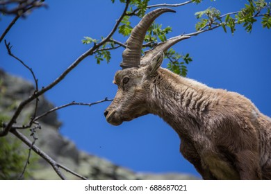 Ibex (mountain goat) shot from below on the blue sky and green branches as background