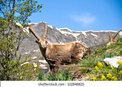 Ibex near Champagny en Vanoise, Savoy