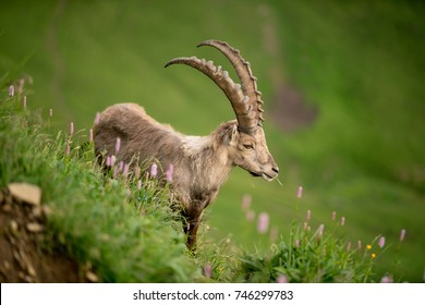 Ibex on the mountain in Switzerland, with some flowers