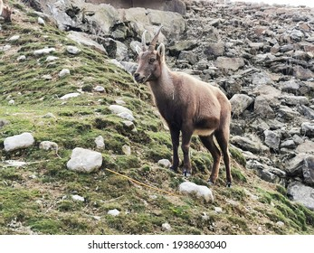 Ibex on a rocky scree in Swiss Alps