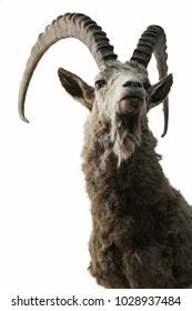 Ibex taxidermy objects isolated