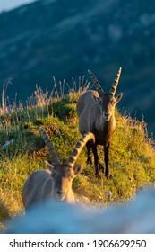 Ibex in their habitat in the Swissalps