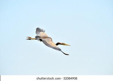 ibis flying (Plegadis falcinellus)