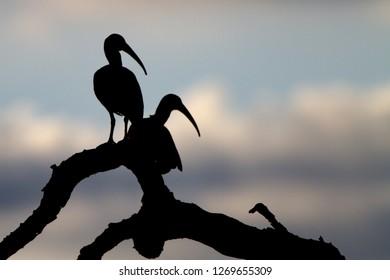 Ibis silhouette in the Okavango delta, Botswana