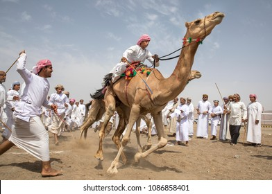 Ibri, Oman, 28th April 2018: omani men getting ready to race their camels on a dusty countryside road