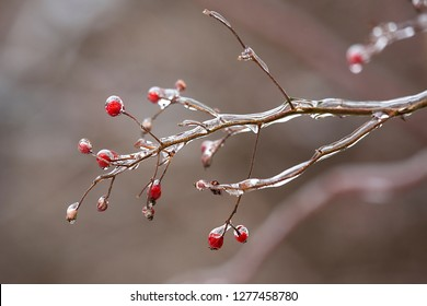 Ice coats red winter berries in a meadow following an ice storm in East Windsor, Connecticut.