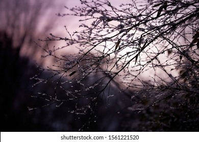 Ice covered branches against a beautiful dusk or dawn sky with strong pink hues. Hi contrast almost black branches with white ice glistening in the remaining light.