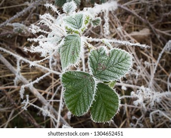 Ice crystals formed on a Blackberry Bush leaf and a Wild Parsley head during a heavy frost.