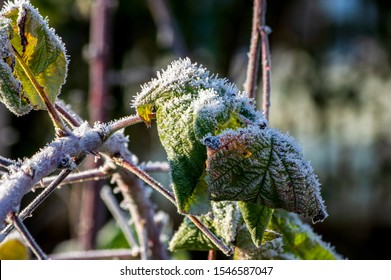 ice crystals of hoar frost on leaves of a raspberry bush in october in morning light