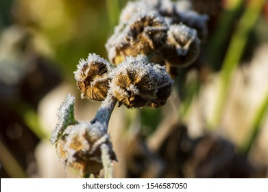 ice crystals of hoar frost on seed capsules of a hollyhock plant (Alcea rosea) in october in morning light