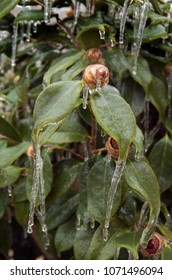 Ice envelopes a Camelia bud in a ice storm in Eastern North Carolina
