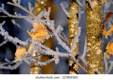 ice frosted maple leaf on a frigid morning