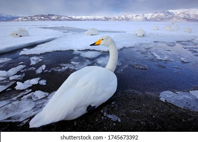 Ice lake with snow in Japan. Whooper Swans, Cygnus cygnus, birds in the nature habitat, Lake Kusharo, winter scene with snow and ice in the water, foggy mountain in the background, Hokkaido, Japan.