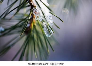 ice on fir, bokeh