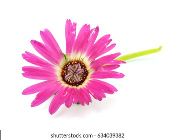 Ice plant flower on a white background (Mesembryanthemum crystallinum)
