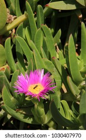 Ice plants, carpet weeds, Aizoaceae