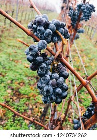 Ice wine. Wine red grapes for ice wine. Waiting for the first frost before harvesting the grapes for the sweetest dessert wine of the season. Burgenland, Austria.