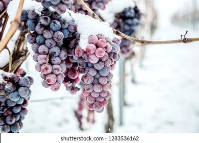 Ice wine. Wine red grapes for ice wine in winter condition and snow.