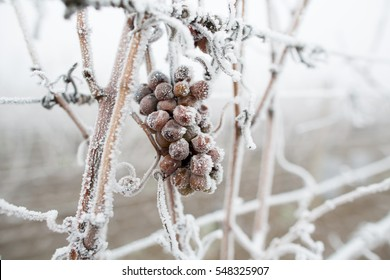 Ice wine. Wine red grapes for ice wine in winter condition and snow. Frozen grapes covered by white flake ice, The sweetest wine is from grapes shredded after the first frost. Moravia, Czech Republic