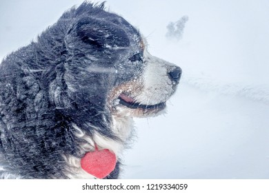 An ice, winter portrait of a Bernese Mountain Dog with a plush red heart in a strong wind. Side view.