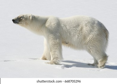 icebear / polar bear in the sun