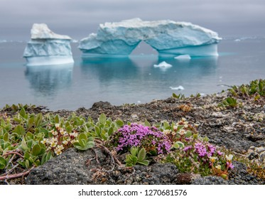 Iceberg and flowers. Flowers on the shore. Nature and landscapes of Greenland. West Greenland. Disko Bay.