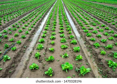 Iceberg lettuce plantation. Irrigation canals with water. Plants in rows.