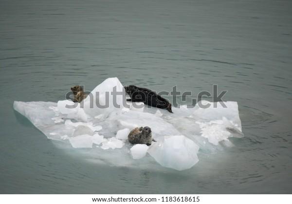 Iceberg with three sea lions