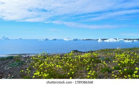 Icebergs and blooming flowers on Disko Island, Greenland