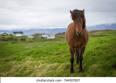 Iceland hourse looking at camera