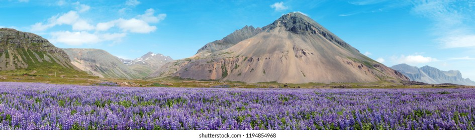 Iceland landscape with mountains and lupine flowers field