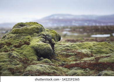 Iceland lava field green moss in snow weather winter. Soft green moss over pillow of rocks. Life starting from ash and rock, it's magic icelandic force you must respect this so delicate invironment.