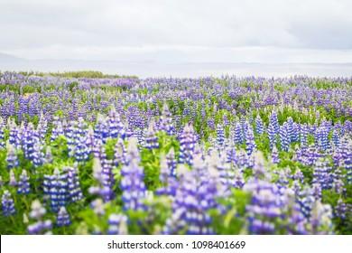Iceland lupin, lupine, lupinuss field.