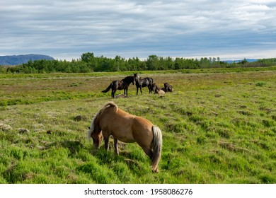 Iceland Ponies on Green Grass
