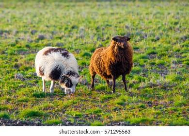 Iceland sheeps