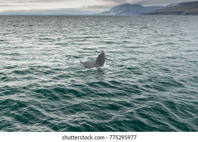 Iceland (Summer), in the bay of Husavik to observe the cetaceans, in particular the beautiful humpbacks, an authentic great emotion.