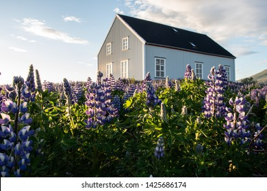 Icelandic farm in countryside, with lupins infront and sunset light