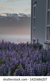 Icelandic farm in countryside, with lupins infront and sunset light, mountains in background