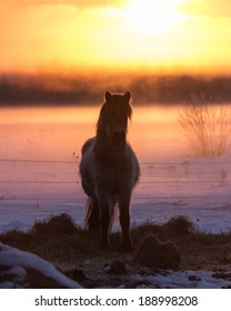 Icelandic Filly at Sunrise