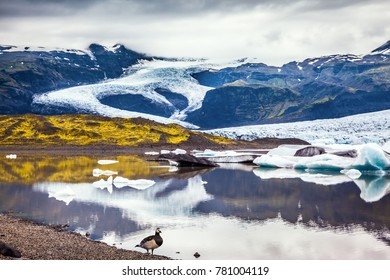 Icelandic goose grazing on the lake. Sunrise illuminates the glacier Vatnajokull and water of Ice Lagoon Jokulsarlon. The concept of extreme northern tourism