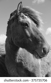 Icelandic horse in black and white
