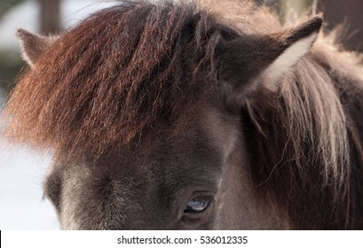 Icelandic Horse Closeup Face