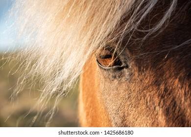 Icelandic horse, countryside, sunset light