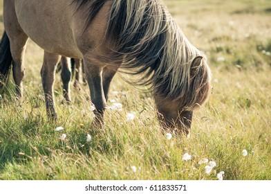 Icelandic horse eating grass, Iceland
